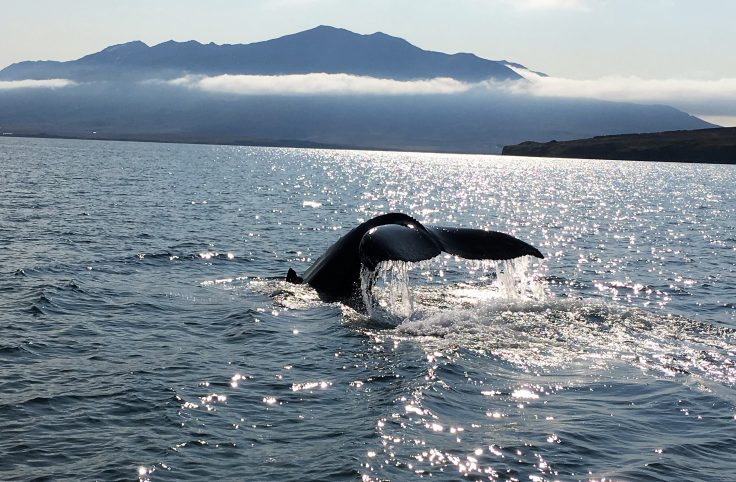 Whale Watching in Hauganes Iceland