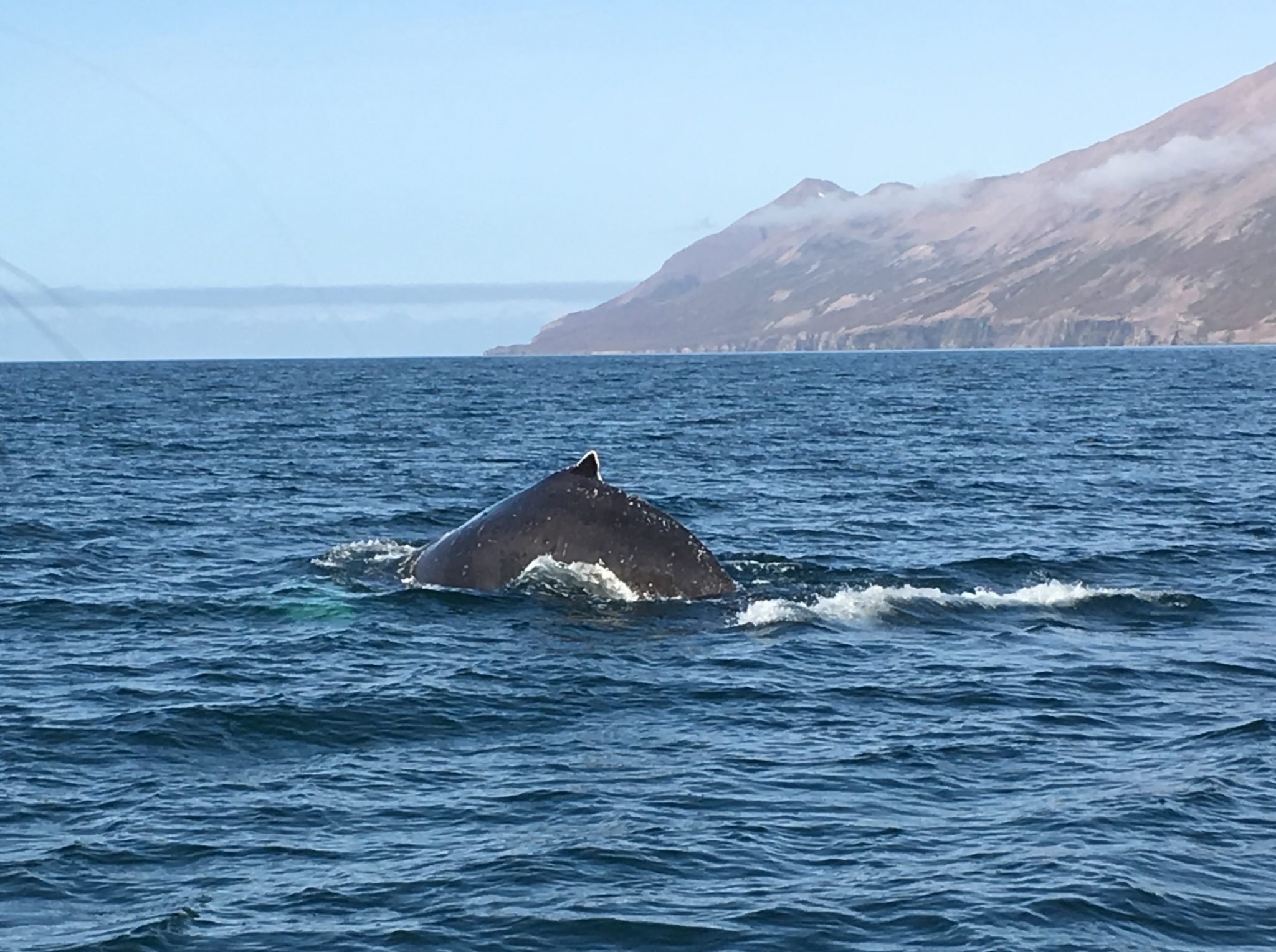 Second Humpback whale seen during our whale watching in Iceland